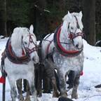 Holzrücken mit Pferden-Wettbewerb Polen 2016
