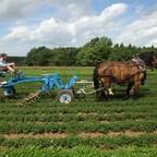 Kräuter hacken im Zwischenachsanbau mit Pferden