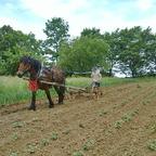 Kartoffeln häufeln mit Vielfachgerät Stoll und Pferd Heinrich