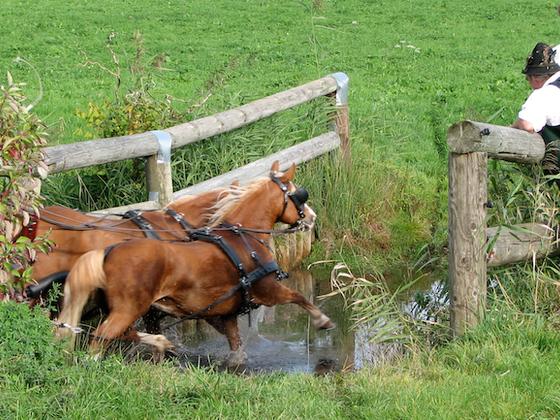 Edelbluthaflinger (hier Raska und Nando) in Aktion (Wasserdurchfahrt)