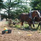 Roden der Frühkartoffeln mit den Pferden Heinrich und Isis am 8. August