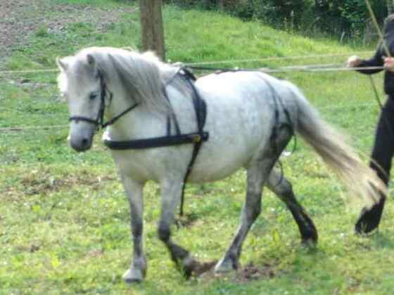 Dartmoor Pony bei der Arbeit
